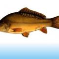 Pescuit la crap – Crapul