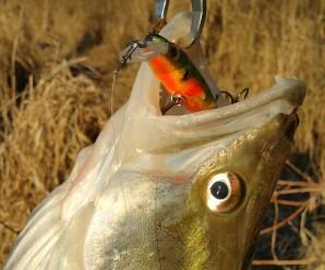 Pescuit la salau cu voblere