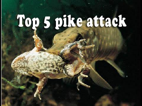 top 5 atacuri ale stiucilor