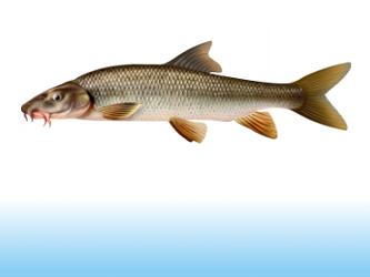 Pescuit la mreana