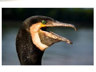 cormorani reclamati